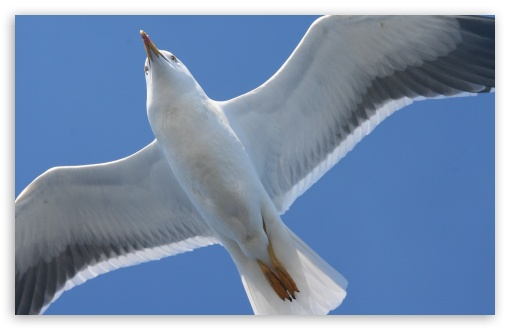 White Seagull HD wallpaper for Wide 16:10 5:3 Widescreen WHXGA WQXGA WUXGA WXGA WGA ; HD 16:9 High Definition WQHD QWXGA 1080p 900p 720p QHD nHD ; Standard 4:3 5:4 3:2 Fullscreen UXGA XGA SVGA QSXGA SXGA DVGA HVGA HQVGA devices ( Apple PowerBook G4 iPhone 4 3G 3GS iPod Touch ) ; Tablet 1:1 ; iPad 1/2/Mini ; Mobile 4:3 5:3 3:2 16:9 5:4 - UXGA XGA SVGA WGA DVGA HVGA HQVGA devices ( Apple PowerBook G4 iPhone 4 3G 3GS iPod Touch ) WQHD QWXGA 1080p 900p 720p QHD nHD QSXGA SXGA ;