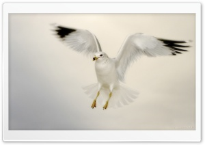 White Seagull Landing HD Wide Wallpaper for Widescreen