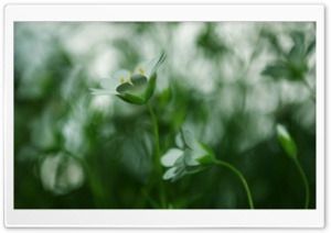 White Small Flower, Blur HD Wide Wallpaper for Widescreen