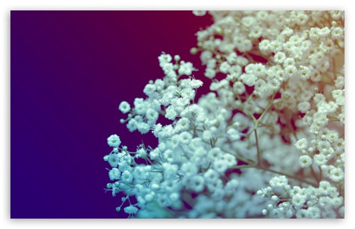White Small Flowers HD wallpaper for Wide 16:10 5:3 Widescreen WHXGA WQXGA WUXGA WXGA WGA ; HD 16:9 High Definition WQHD QWXGA 1080p 900p 720p QHD nHD ; Standard 4:3 5:4 3:2 Fullscreen UXGA XGA SVGA QSXGA SXGA DVGA HVGA HQVGA devices ( Apple PowerBook G4 iPhone 4 3G 3GS iPod Touch ) ; Tablet 1:1 ; iPad 1/2/Mini ; Mobile 4:3 5:3 3:2 16:9 5:4 - UXGA XGA SVGA WGA DVGA HVGA HQVGA devices ( Apple PowerBook G4 iPhone 4 3G 3GS iPod Touch ) WQHD QWXGA 1080p 900p 720p QHD nHD QSXGA SXGA ;
