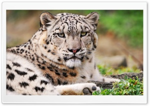 White Snow Leopard HD Wide Wallpaper for 4K UHD Widescreen desktop & smartphone