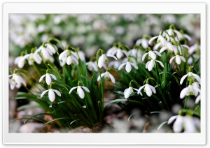 White Snowdrops Flowers HD Wide Wallpaper for 4K UHD Widescreen desktop & smartphone