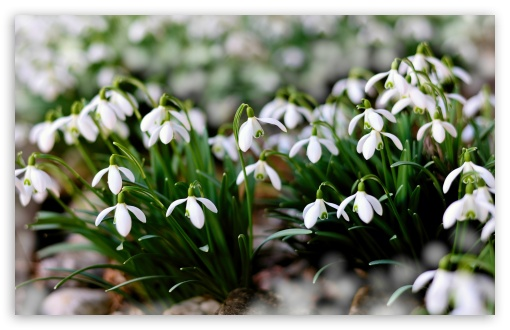 White Snowdrops Flowers UltraHD Wallpaper for Wide 16:10 5:3 Widescreen WHXGA WQXGA WUXGA WXGA WGA ; UltraWide 21:9 24:10 ; 8K UHD TV 16:9 Ultra High Definition 2160p 1440p 1080p 900p 720p ; UHD 16:9 2160p 1440p 1080p 900p 720p ; Standard 4:3 5:4 3:2 Fullscreen UXGA XGA SVGA QSXGA SXGA DVGA HVGA HQVGA ( Apple PowerBook G4 iPhone 4 3G 3GS iPod Touch ) ; Smartphone 16:9 3:2 5:3 2160p 1440p 1080p 900p 720p DVGA HVGA HQVGA ( Apple PowerBook G4 iPhone 4 3G 3GS iPod Touch ) WGA ; Tablet 1:1 ; iPad 1/2/Mini ; Mobile 4:3 5:3 3:2 16:9 5:4 - UXGA XGA SVGA WGA DVGA HVGA HQVGA ( Apple PowerBook G4 iPhone 4 3G 3GS iPod Touch ) 2160p 1440p 1080p 900p 720p QSXGA SXGA ; Dual 16:10 5:3 16:9 4:3 5:4 3:2 WHXGA WQXGA WUXGA WXGA WGA 2160p 1440p 1080p 900p 720p UXGA XGA SVGA QSXGA SXGA DVGA HVGA HQVGA ( Apple PowerBook G4 iPhone 4 3G 3GS iPod Touch ) ;
