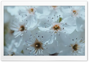 White Spring Blossoms HD Wide Wallpaper for Widescreen