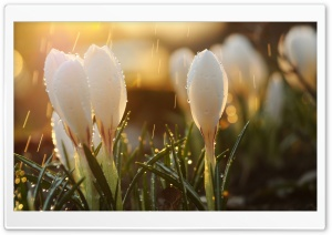 White Spring Flowers in Rain HD Wide Wallpaper for Widescreen