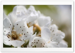 White Spring Flowers, Macro HD Wide Wallpaper for Widescreen