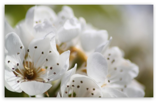 White Spring Flowers, Macro HD wallpaper for Wide 16:10 5:3 Widescreen WHXGA WQXGA WUXGA WXGA WGA ; HD 16:9 High Definition WQHD QWXGA 1080p 900p 720p QHD nHD ; Standard 4:3 5:4 3:2 Fullscreen UXGA XGA SVGA QSXGA SXGA DVGA HVGA HQVGA devices ( Apple PowerBook G4 iPhone 4 3G 3GS iPod Touch ) ; Tablet 1:1 ; iPad 1/2/Mini ; Mobile 4:3 5:3 3:2 16:9 5:4 - UXGA XGA SVGA WGA DVGA HVGA HQVGA devices ( Apple PowerBook G4 iPhone 4 3G 3GS iPod Touch ) WQHD QWXGA 1080p 900p 720p QHD nHD QSXGA SXGA ; Dual 5:4 QSXGA SXGA ;