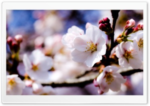 White Spring Flowers On A Tree Branch HD Wide Wallpaper for 4K UHD Widescreen desktop & smartphone