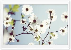 White Summer Flowers Ultra HD Wallpaper for 4K UHD Widescreen desktop, tablet & smartphone