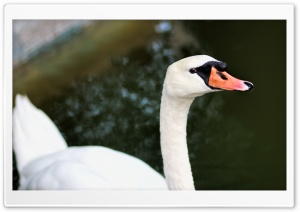 White Swan HD Wide Wallpaper for Widescreen