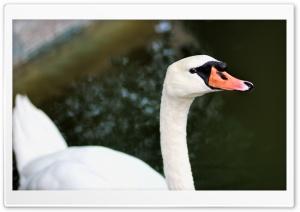 White Swan Ultra HD Wallpaper for 4K UHD Widescreen desktop, tablet & smartphone