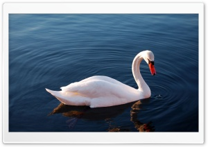 White Swan in Water HD Wide Wallpaper for Widescreen