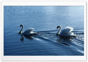 White Swans HD Wide Wallpaper for 4K UHD Widescreen desktop & smartphone