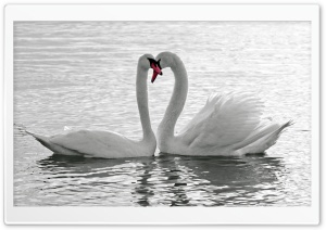 White Swans HD Wide Wallpaper for Widescreen