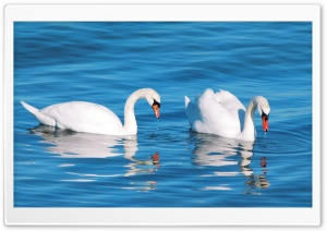 White Swans Ultra HD Wallpaper for 4K UHD Widescreen desktop, tablet & smartphone
