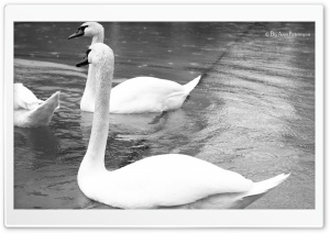 White Swans Black and White HD Wide Wallpaper for Widescreen