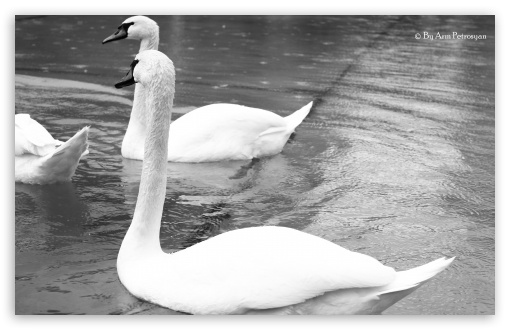 White Swans Black and White ❤ 4K UHD Wallpaper for Wide 16:10 5:3 Widescreen WHXGA WQXGA WUXGA WXGA WGA ; Standard 5:4 3:2 Fullscreen QSXGA SXGA DVGA HVGA HQVGA ( Apple PowerBook G4 iPhone 4 3G 3GS iPod Touch ) ; Mobile 5:3 3:2 5:4 - WGA DVGA HVGA HQVGA ( Apple PowerBook G4 iPhone 4 3G 3GS iPod Touch ) QSXGA SXGA ;