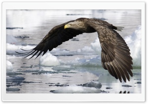White Tailed Eagle HD Wide Wallpaper for 4K UHD Widescreen desktop & smartphone