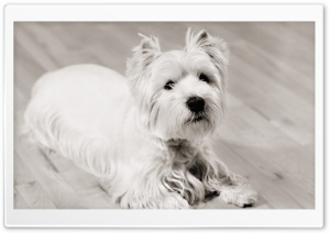 White Terrier HD Wide Wallpaper for Widescreen