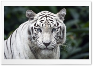 White Tiger HD Wide Wallpaper for 4K UHD Widescreen desktop & smartphone