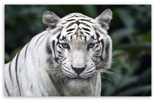 White Tiger HD wallpaper for Wide 16:10 5:3 Widescreen WHXGA WQXGA WUXGA WXGA WGA ; HD 16:9 High Definition WQHD QWXGA 1080p 900p 720p QHD nHD ; Standard 4:3 5:4 3:2 Fullscreen UXGA XGA SVGA QSXGA SXGA DVGA HVGA HQVGA devices ( Apple PowerBook G4 iPhone 4 3G 3GS iPod Touch ) ; Tablet 1:1 ; iPad 1/2/Mini ; Mobile 4:3 5:3 3:2 16:9 5:4 - UXGA XGA SVGA WGA DVGA HVGA HQVGA devices ( Apple PowerBook G4 iPhone 4 3G 3GS iPod Touch ) WQHD QWXGA 1080p 900p 720p QHD nHD QSXGA SXGA ;