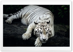 White Tiger Animal HD Wide Wallpaper for Widescreen