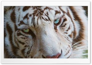 White Tiger Eyes HD Wide Wallpaper for Widescreen