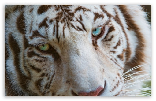 White Tiger Eyes ❤ 4K UHD Wallpaper for Wide 16:10 5:3 Widescreen WHXGA WQXGA WUXGA WXGA WGA ; 4K UHD 16:9 Ultra High Definition 2160p 1440p 1080p 900p 720p ; UHD 16:9 2160p 1440p 1080p 900p 720p ; Standard 4:3 5:4 3:2 Fullscreen UXGA XGA SVGA QSXGA SXGA DVGA HVGA HQVGA ( Apple PowerBook G4 iPhone 4 3G 3GS iPod Touch ) ; Tablet 1:1 ; iPad 1/2/Mini ; Mobile 4:3 5:3 3:2 16:9 5:4 - UXGA XGA SVGA WGA DVGA HVGA HQVGA ( Apple PowerBook G4 iPhone 4 3G 3GS iPod Touch ) 2160p 1440p 1080p 900p 720p QSXGA SXGA ;