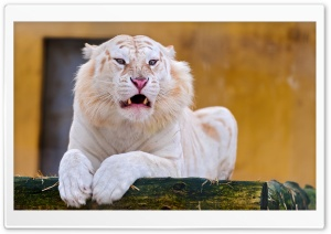 White Tiger Laying Down HD Wide Wallpaper for Widescreen