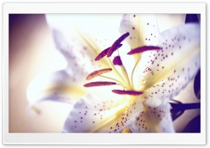 White Tiger Lily HD Wide Wallpaper for Widescreen