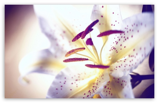 White Tiger Lily HD wallpaper for Standard 4:3 5:4 Fullscreen UXGA XGA SVGA QSXGA SXGA ; Wide 16:10 5:3 Widescreen WHXGA WQXGA WUXGA WXGA WGA ; HD 16:9 High Definition WQHD QWXGA 1080p 900p 720p QHD nHD ; Other 3:2 DVGA HVGA HQVGA devices ( Apple PowerBook G4 iPhone 4 3G 3GS iPod Touch ) ; Mobile VGA WVGA iPhone iPad PSP Phone - VGA QVGA Smartphone ( PocketPC GPS iPod Zune BlackBerry HTC Samsung LG Nokia Eten Asus ) WVGA WQVGA Smartphone ( HTC Samsung Sony Ericsson LG Vertu MIO ) HVGA Smartphone ( Apple iPhone iPod BlackBerry HTC Samsung Nokia ) Sony PSP Zune HD Zen ; Tablet 2 Android ;