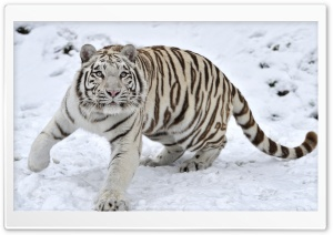 White Tiger On Snow Winter HD Wide Wallpaper for 4K UHD Widescreen desktop & smartphone