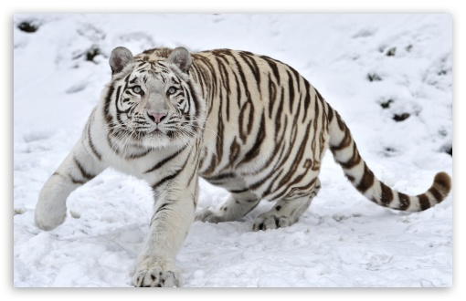 Snow White Tiger | www.pixshark.com - Images Galleries ...