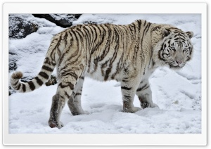 White Tiger On The Snow HD Wide Wallpaper for Widescreen