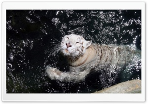 White Tiger Swimming HD Wide Wallpaper for Widescreen