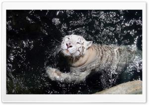 White Tiger Swimming Ultra HD Wallpaper for 4K UHD Widescreen desktop, tablet & smartphone
