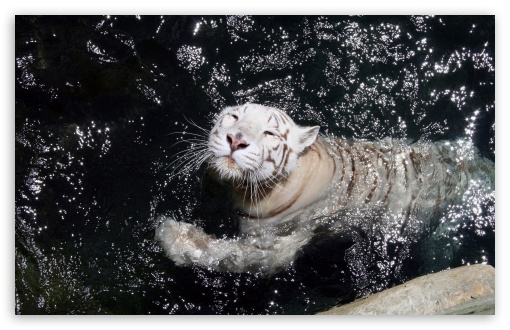 White Tiger Swimming HD wallpaper for Wide 16:10 5:3 Widescreen WHXGA WQXGA WUXGA WXGA WGA ; HD 16:9 High Definition WQHD QWXGA 1080p 900p 720p QHD nHD ; Standard 4:3 5:4 3:2 Fullscreen UXGA XGA SVGA QSXGA SXGA DVGA HVGA HQVGA devices ( Apple PowerBook G4 iPhone 4 3G 3GS iPod Touch ) ; Tablet 1:1 ; iPad 1/2/Mini ; Mobile 4:3 5:3 3:2 16:9 5:4 - UXGA XGA SVGA WGA DVGA HVGA HQVGA devices ( Apple PowerBook G4 iPhone 4 3G 3GS iPod Touch ) WQHD QWXGA 1080p 900p 720p QHD nHD QSXGA SXGA ; Dual 5:4 QSXGA SXGA ;