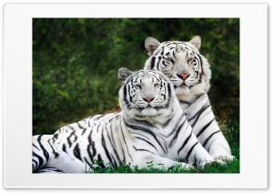 White Tigers Ultra HD Wallpaper for 4K UHD Widescreen desktop, tablet & smartphone