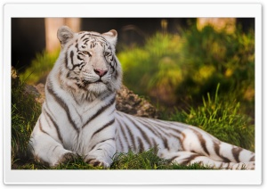 White Tigress Lying in the Grass HD Wide Wallpaper for 4K UHD Widescreen desktop & smartphone