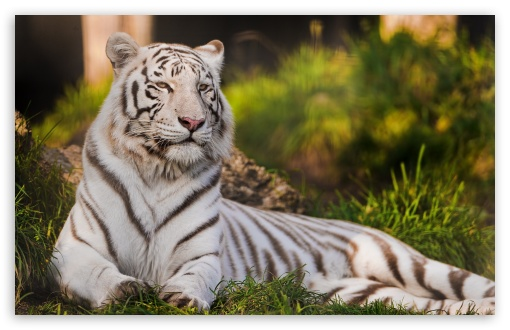 White Tigress Lying in the Grass HD wallpaper for Wide 16:10 5:3 Widescreen WHXGA WQXGA WUXGA WXGA WGA ; HD 16:9 High Definition WQHD QWXGA 1080p 900p 720p QHD nHD ; Standard 4:3 5:4 3:2 Fullscreen UXGA XGA SVGA QSXGA SXGA DVGA HVGA HQVGA devices ( Apple PowerBook G4 iPhone 4 3G 3GS iPod Touch ) ; Tablet 1:1 ; iPad 1/2/Mini ; Mobile 4:3 5:3 3:2 16:9 5:4 - UXGA XGA SVGA WGA DVGA HVGA HQVGA devices ( Apple PowerBook G4 iPhone 4 3G 3GS iPod Touch ) WQHD QWXGA 1080p 900p 720p QHD nHD QSXGA SXGA ; Dual 16:10 5:3 16:9 4:3 5:4 WHXGA WQXGA WUXGA WXGA WGA WQHD QWXGA 1080p 900p 720p QHD nHD UXGA XGA SVGA QSXGA SXGA ;