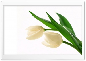 White Tulips HD Wide Wallpaper for 4K UHD Widescreen desktop & smartphone