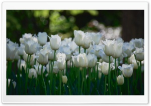 White Tulips HD Wide Wallpaper for Widescreen