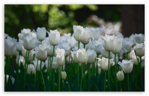http://hd.wallpaperswide.com/thumbs/white_tulips_3-t2.jpg