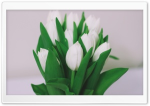 White Tulips Bouquet HD Wide Wallpaper for Widescreen