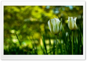 White Tulips In Spring HD Wide Wallpaper for 4K UHD Widescreen desktop & smartphone