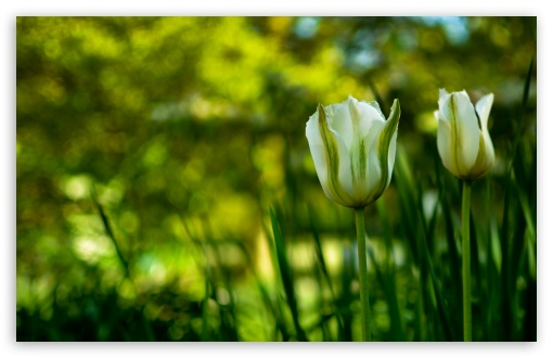 White Tulips In Spring HD wallpaper for Wide 16:10 5:3 Widescreen WHXGA WQXGA WUXGA WXGA WGA ; HD 16:9 High Definition WQHD QWXGA 1080p 900p 720p QHD nHD ; Standard 4:3 5:4 3:2 Fullscreen UXGA XGA SVGA QSXGA SXGA DVGA HVGA HQVGA devices ( Apple PowerBook G4 iPhone 4 3G 3GS iPod Touch ) ; Tablet 1:1 ; iPad 1/2/Mini ; Mobile 4:3 5:3 3:2 16:9 5:4 - UXGA XGA SVGA WGA DVGA HVGA HQVGA devices ( Apple PowerBook G4 iPhone 4 3G 3GS iPod Touch ) WQHD QWXGA 1080p 900p 720p QHD nHD QSXGA SXGA ;