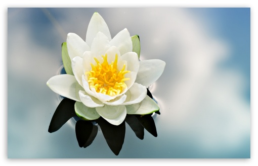 White Water Lily HD wallpaper for Wide 16:10 5:3 Widescreen WHXGA WQXGA WUXGA WXGA WGA ; HD 16:9 High Definition WQHD QWXGA 1080p 900p 720p QHD nHD ; Standard 4:3 5:4 3:2 Fullscreen UXGA XGA SVGA QSXGA SXGA DVGA HVGA HQVGA devices ( Apple PowerBook G4 iPhone 4 3G 3GS iPod Touch ) ; Tablet 1:1 ; iPad 1/2/Mini ; Mobile 4:3 5:3 3:2 16:9 5:4 - UXGA XGA SVGA WGA DVGA HVGA HQVGA devices ( Apple PowerBook G4 iPhone 4 3G 3GS iPod Touch ) WQHD QWXGA 1080p 900p 720p QHD nHD QSXGA SXGA ;
