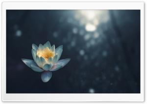 White Water Lily Flower Night Ultra HD Wallpaper for 4K UHD Widescreen desktop, tablet & smartphone