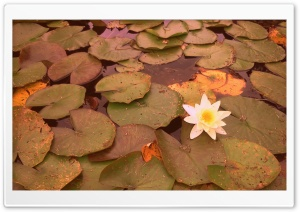 White Waterlily HD Wide Wallpaper for Widescreen