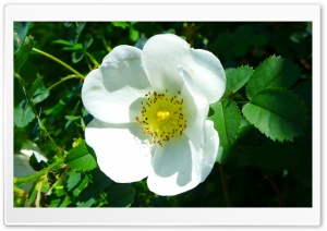 White Wild Rose HD Wide Wallpaper for Widescreen